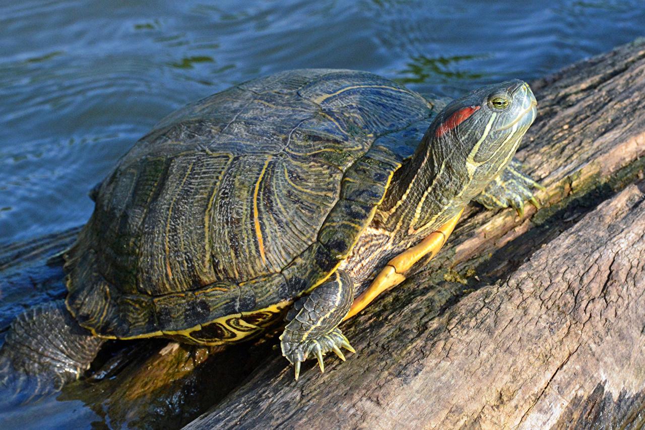 Картинки Черепахи животное Крупным планом вблизи Животные