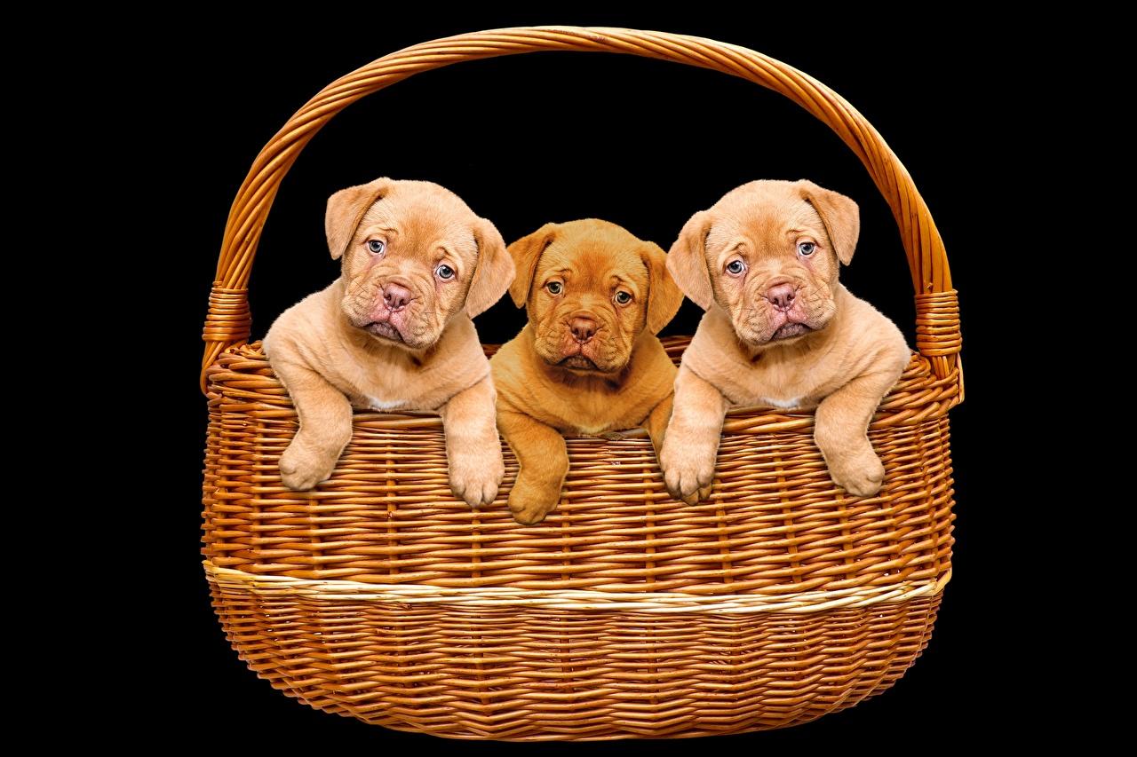 Обои для рабочего стола Щенок Бордоский дог собака корзины Трое 3 животное Черный фон щенки щенка щенков Собаки Корзина Корзинка три втроем Животные на черном фоне