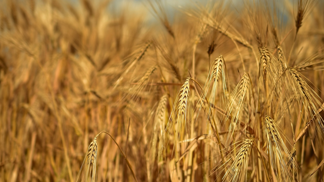 Фотография Rye Природа Поля колосья вблизи Колос колосок колоски Крупным планом