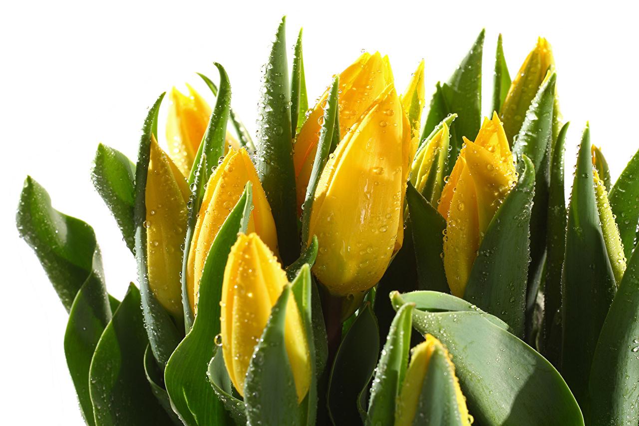 Картинка желтая Тюльпаны Капли Цветы вблизи желтые Желтый желтых тюльпан капля капель цветок капельки Крупным планом