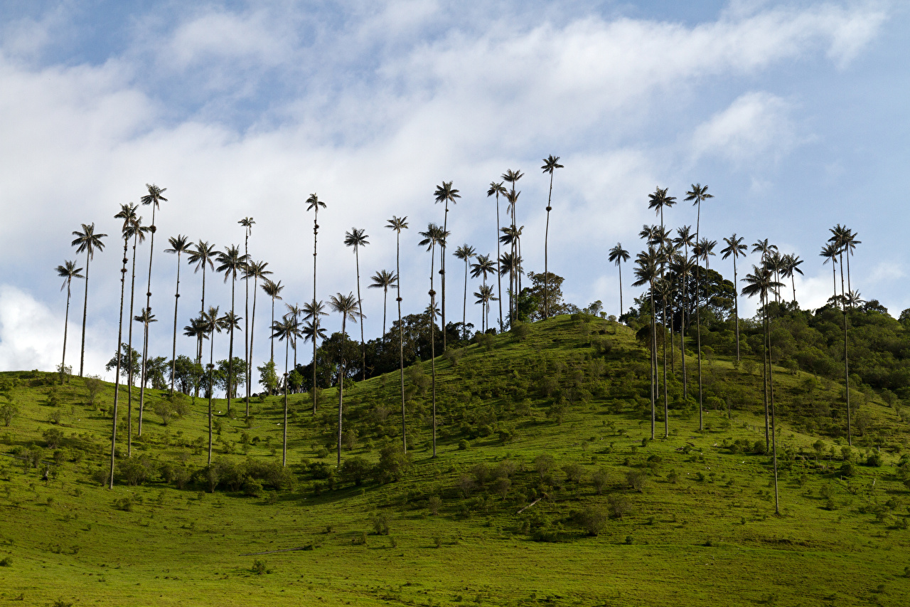 Фотография Колумбия Природа Луга Холмы пальма холм пальм холмов Пальмы