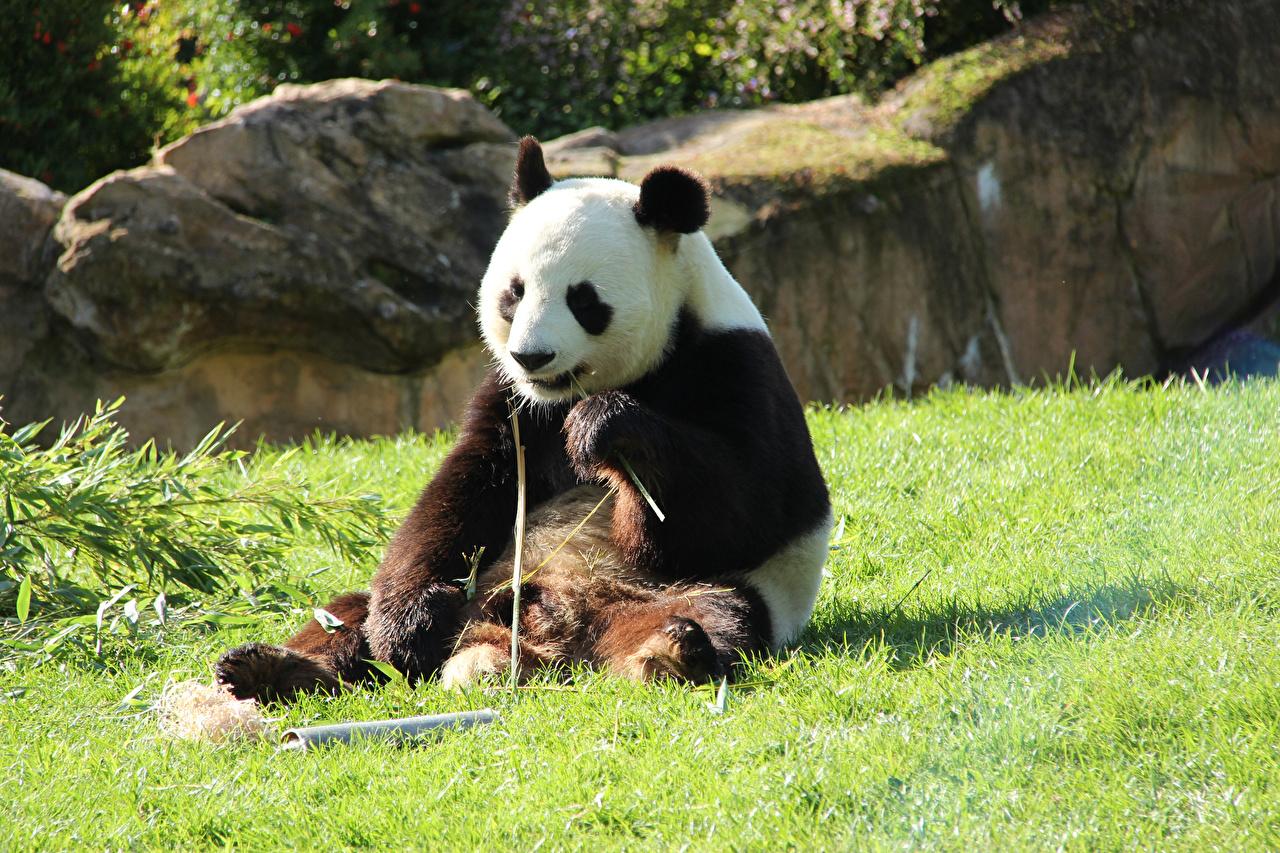 Картинки Панды Медведи Трава Сидит животное бамбуковый медведь медведь сидя траве сидящие Животные