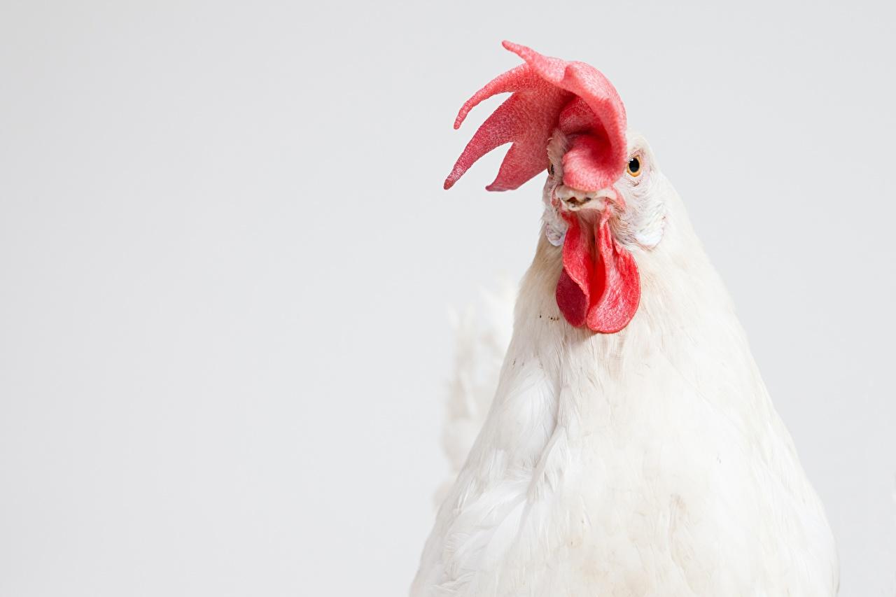 Фото Птицы Петух Голова животное сером фоне птица головы Животные Серый фон