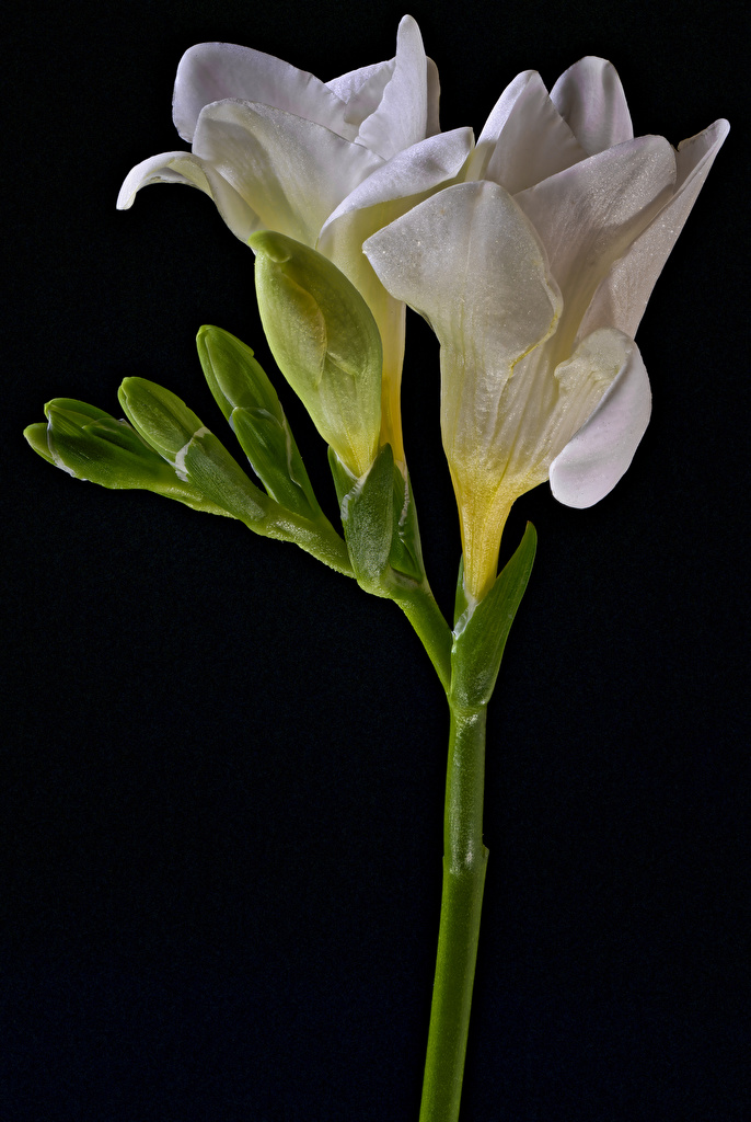 Картинка белые Фрезия цветок вблизи Черный фон  для мобильного телефона белая Белый белых Цветы на черном фоне Крупным планом