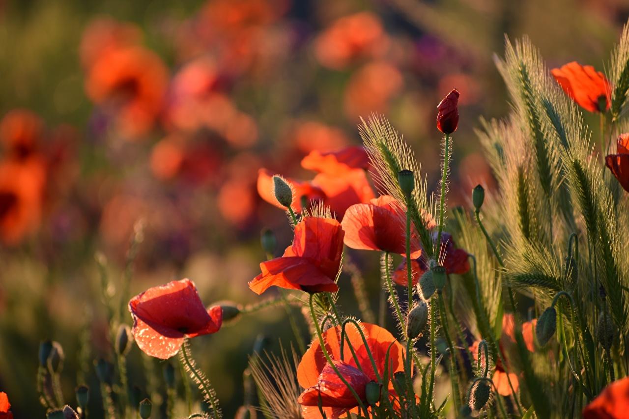 Фото Размытый фон Красный мак цветок колосок Бутон боке красных красные красная Маки Колос Цветы колоски колосья