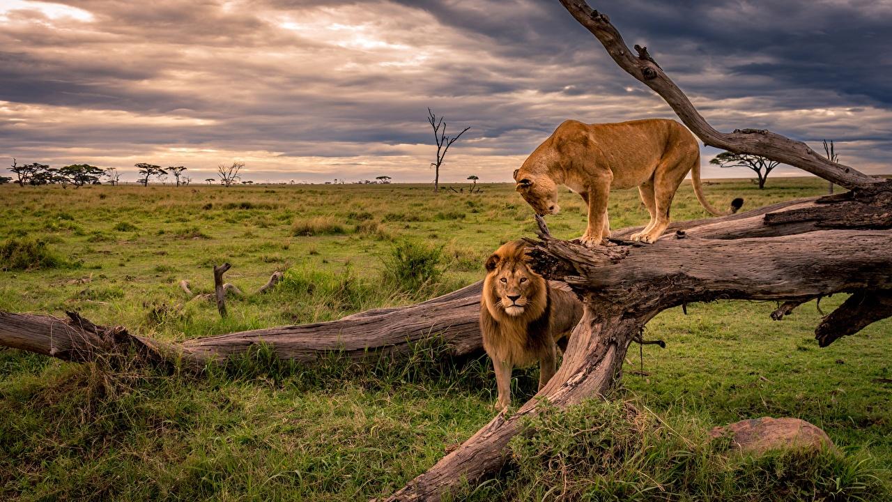 Картинка Львы Львица Африка Природа Ствол дерева траве Животные лев Трава животное