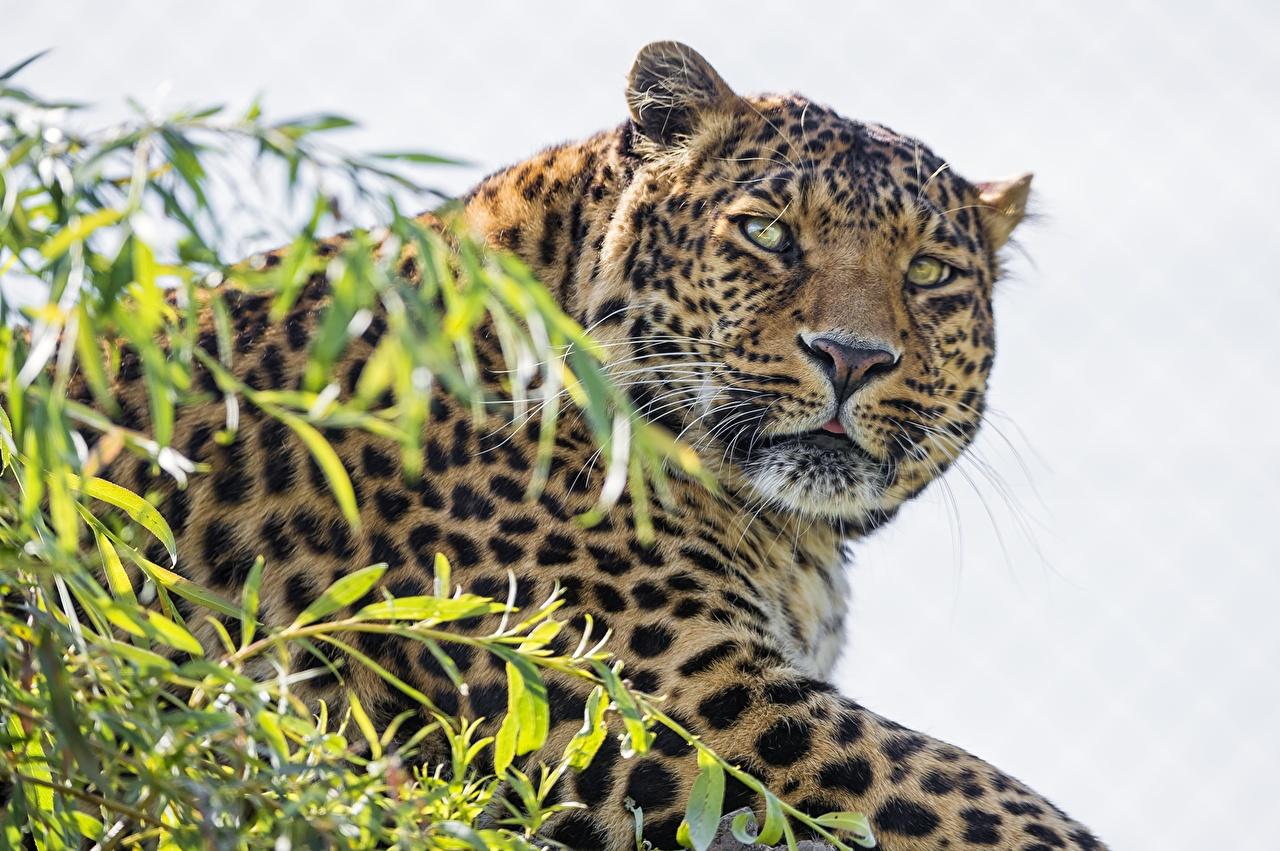 Обои для рабочего стола Леопарды Большие кошки смотрят животное леопард Взгляд смотрит Животные