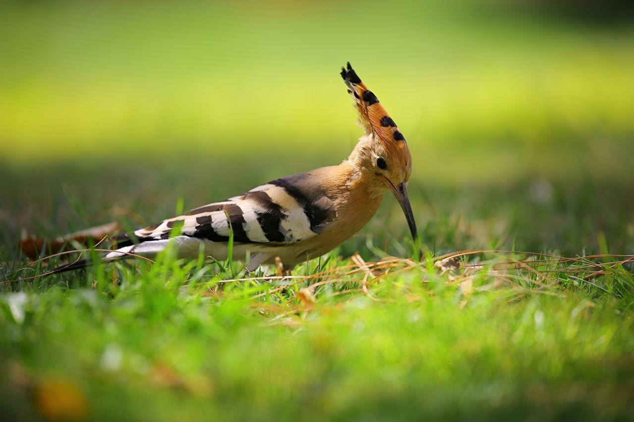 Фото Птицы Размытый фон Трава Животные птица боке траве животное