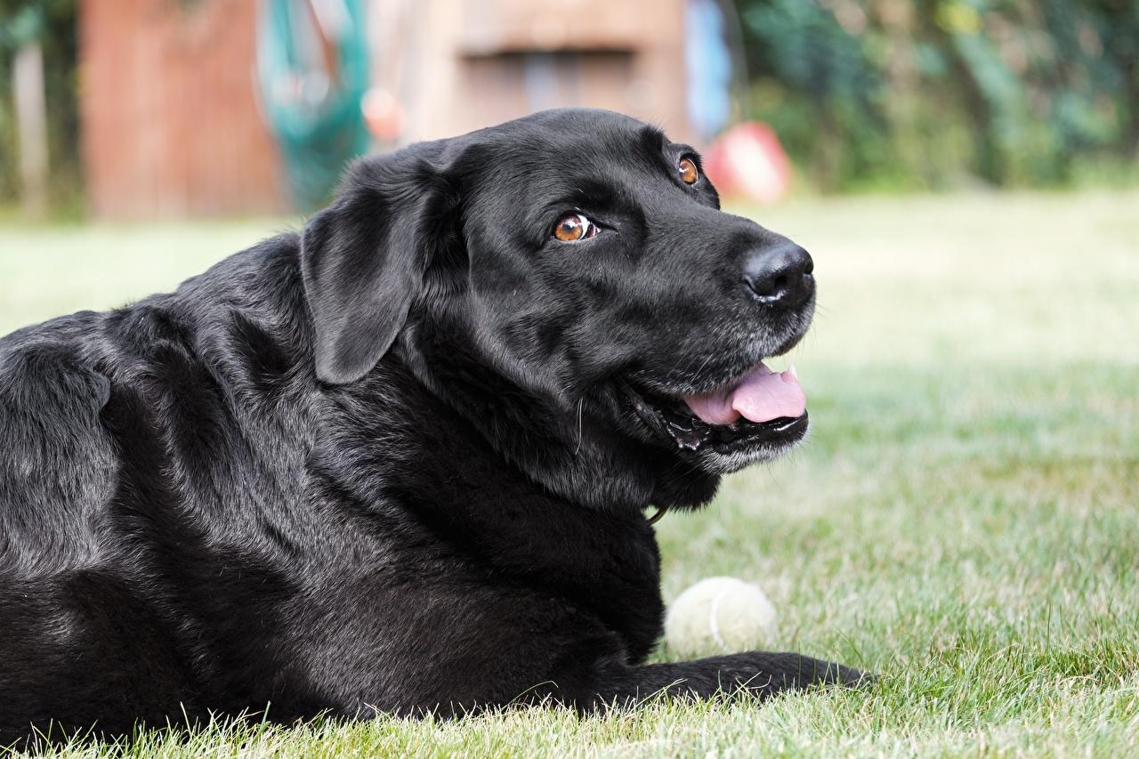 Картинки Ретривер Собаки Labrador Черный Трава смотрит Животные Взгляд