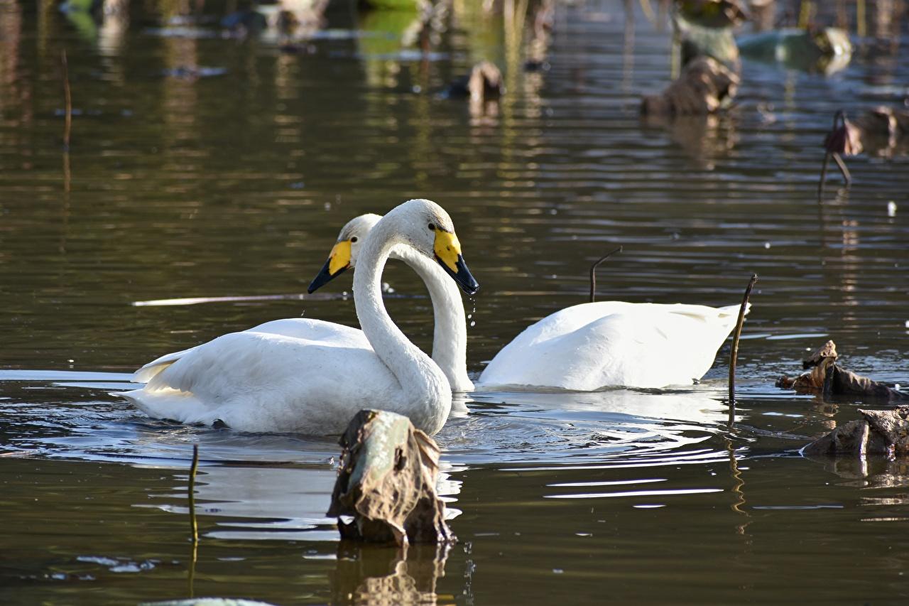 Картинки Птицы Лебеди вдвоем Озеро Животные 2 два две Двое животное