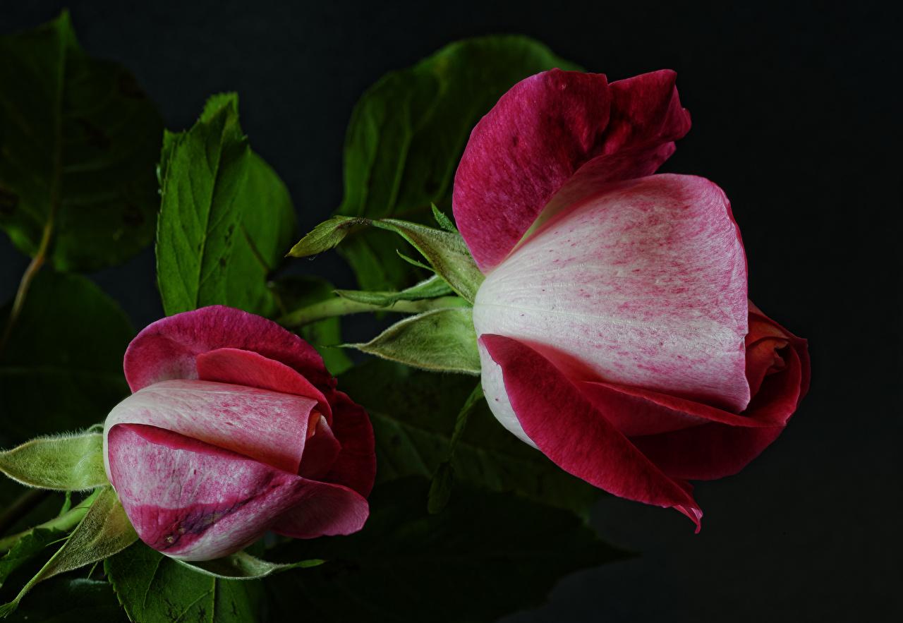 Фото два Розы цветок вблизи на черном фоне 2 две роза Двое вдвоем Цветы Черный фон Крупным планом