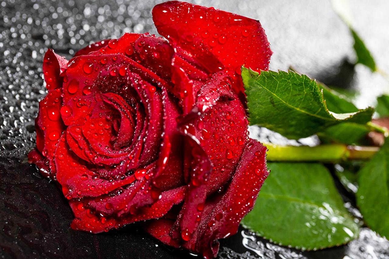 Картинка Розы Красный капля Цветы вблизи роза красная красные красных Капли капель цветок капельки Крупным планом