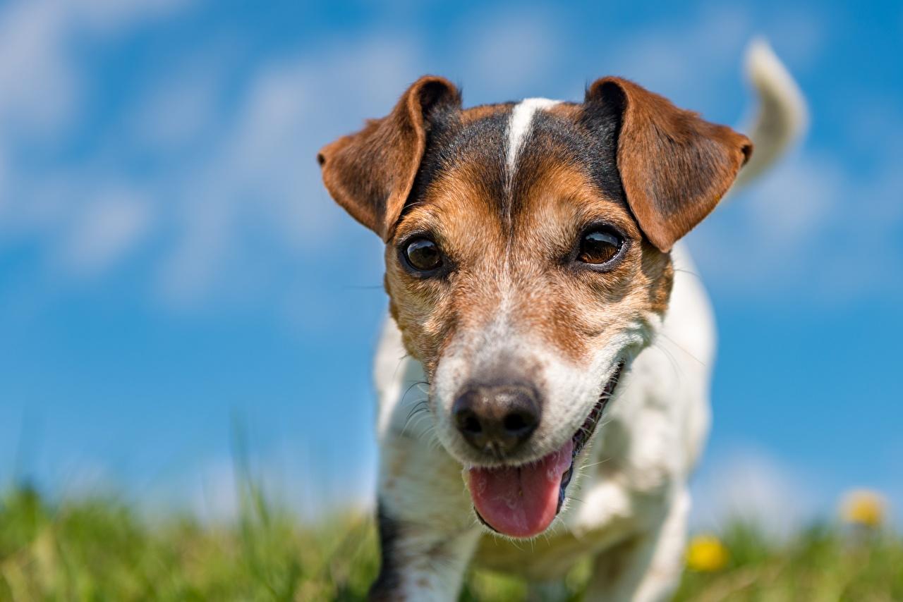Картинка Джек-рассел-терьер собака Размытый фон языком морды Животные Собаки боке Язык (анатомия) Морда животное