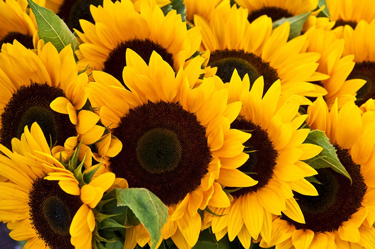 Фотография цветок Подсолнухи вблизи Цветы Подсолнечник Крупным планом