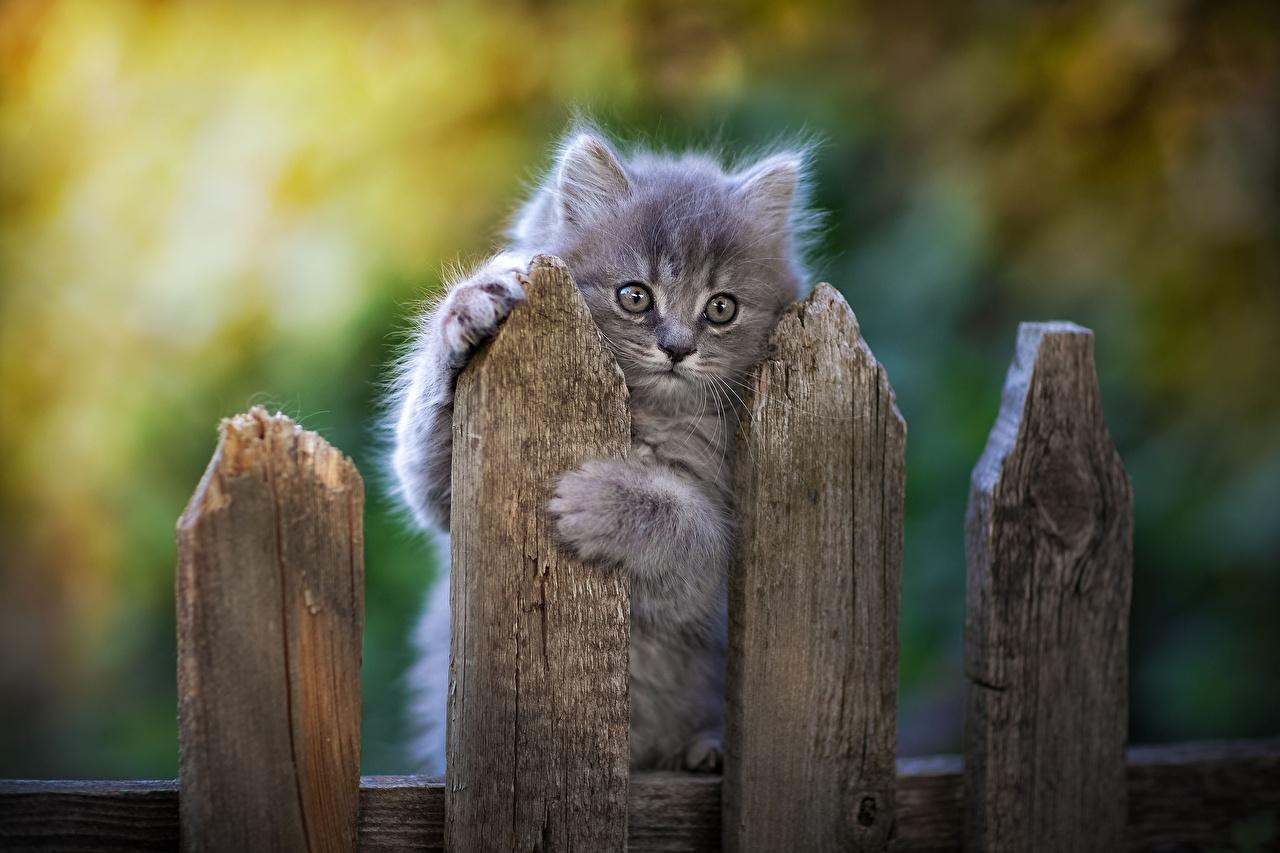 Картинка коты серая Лапы Забор Взгляд Животные кот кошка Кошки серые Серый лап забора ограда забором смотрит смотрят животное