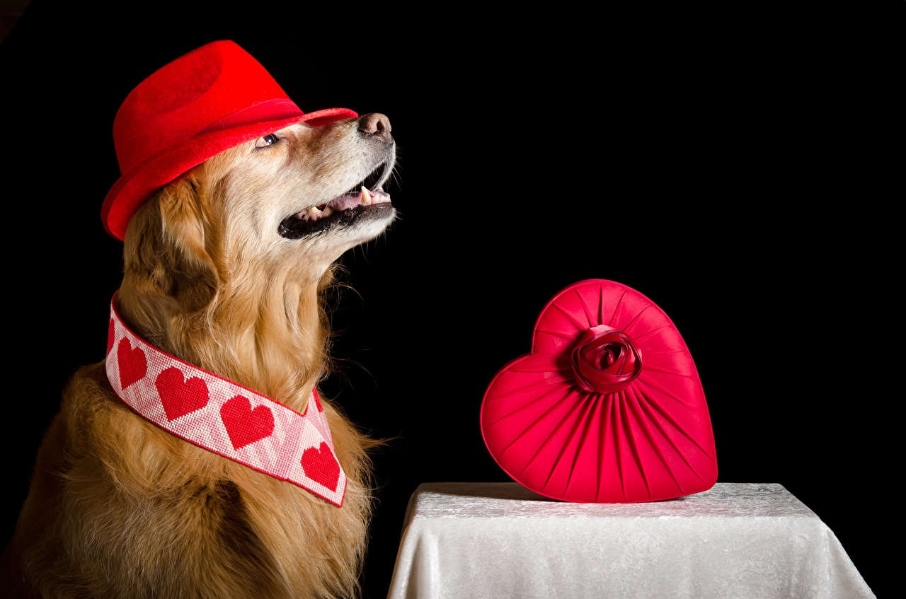 Фотографии Золотистый ретривер собака серце Шляпа Животные Собаки Сердце сердца сердечко шляпы шляпе животное