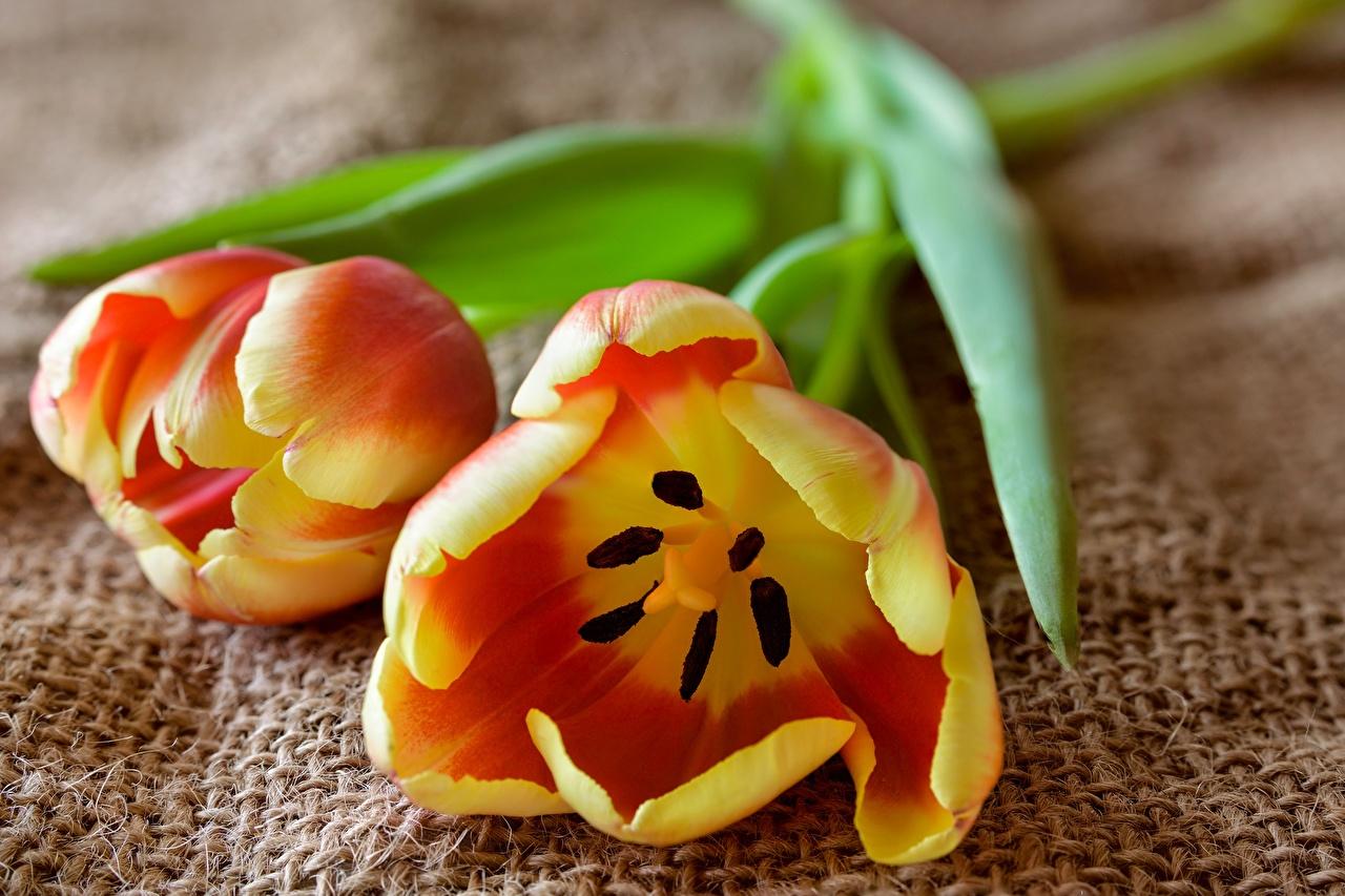 Картинки вдвоем тюльпан цветок Крупным планом 2 два две Двое Тюльпаны Цветы вблизи