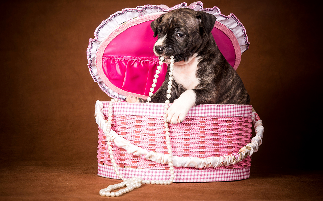Фотография Щенок собака Жемчуг Корзинка Животные Цветной фон щенки щенка щенков Собаки корзины Корзина животное