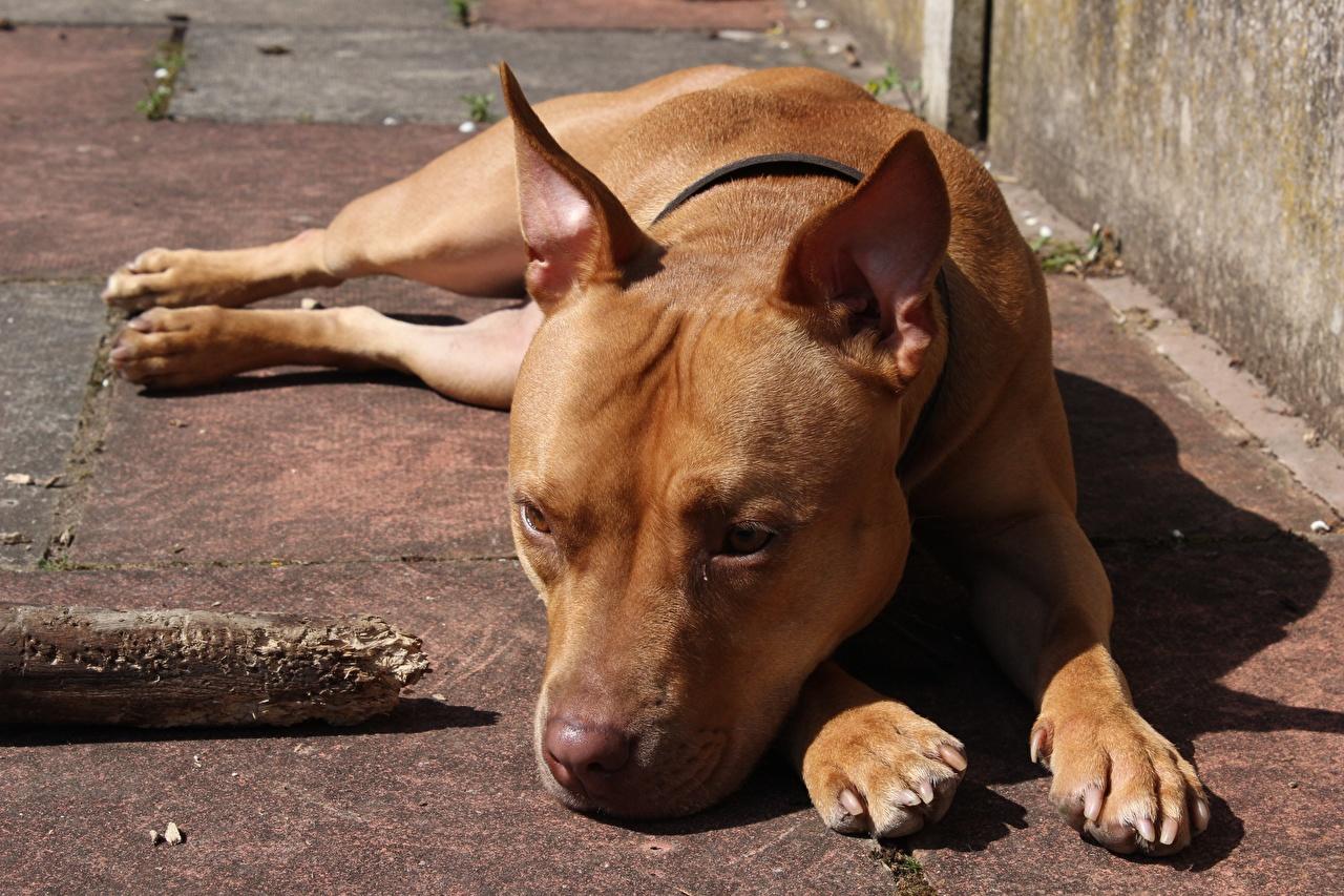 Фотография Амстафф Собаки Лежит Животные собака лежа лежат лежачие животное