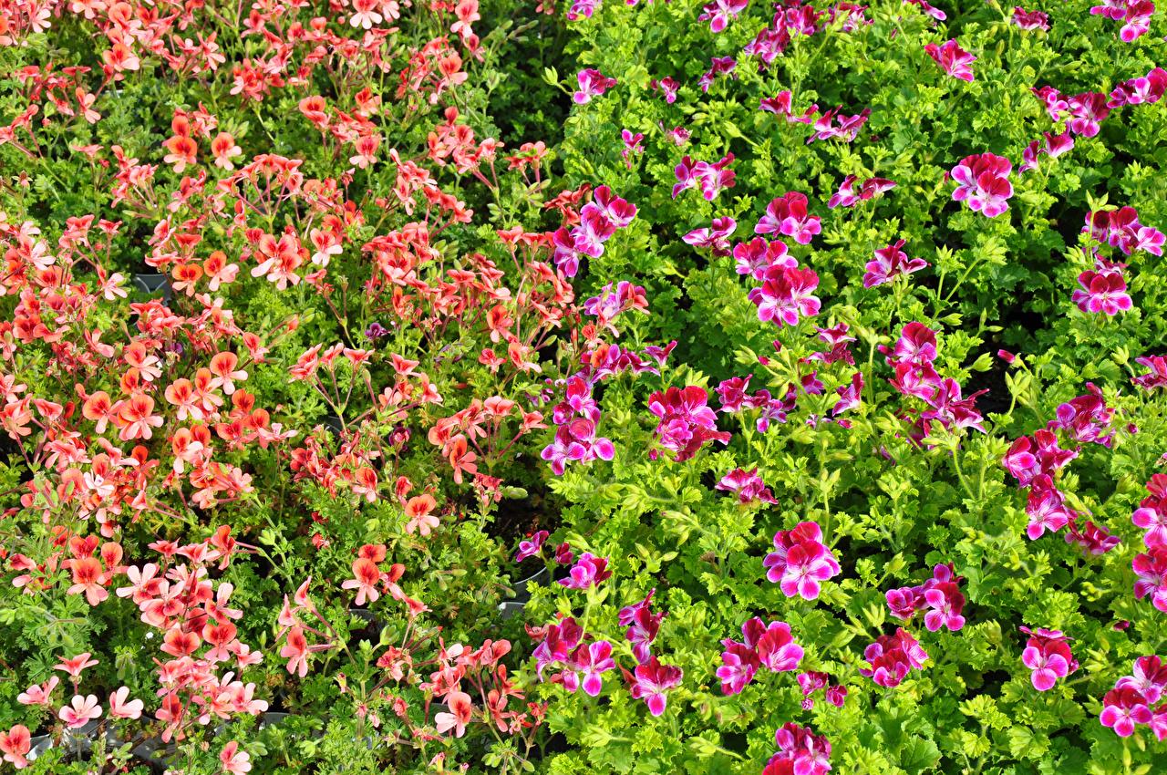Картинки pelargonium Цветы Много цветок