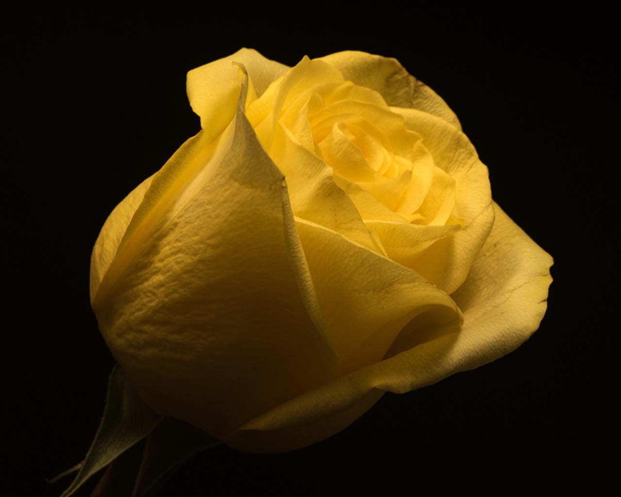 Фотография Розы желтые цветок вблизи на черном фоне роза желтая Желтый желтых Цветы Черный фон Крупным планом