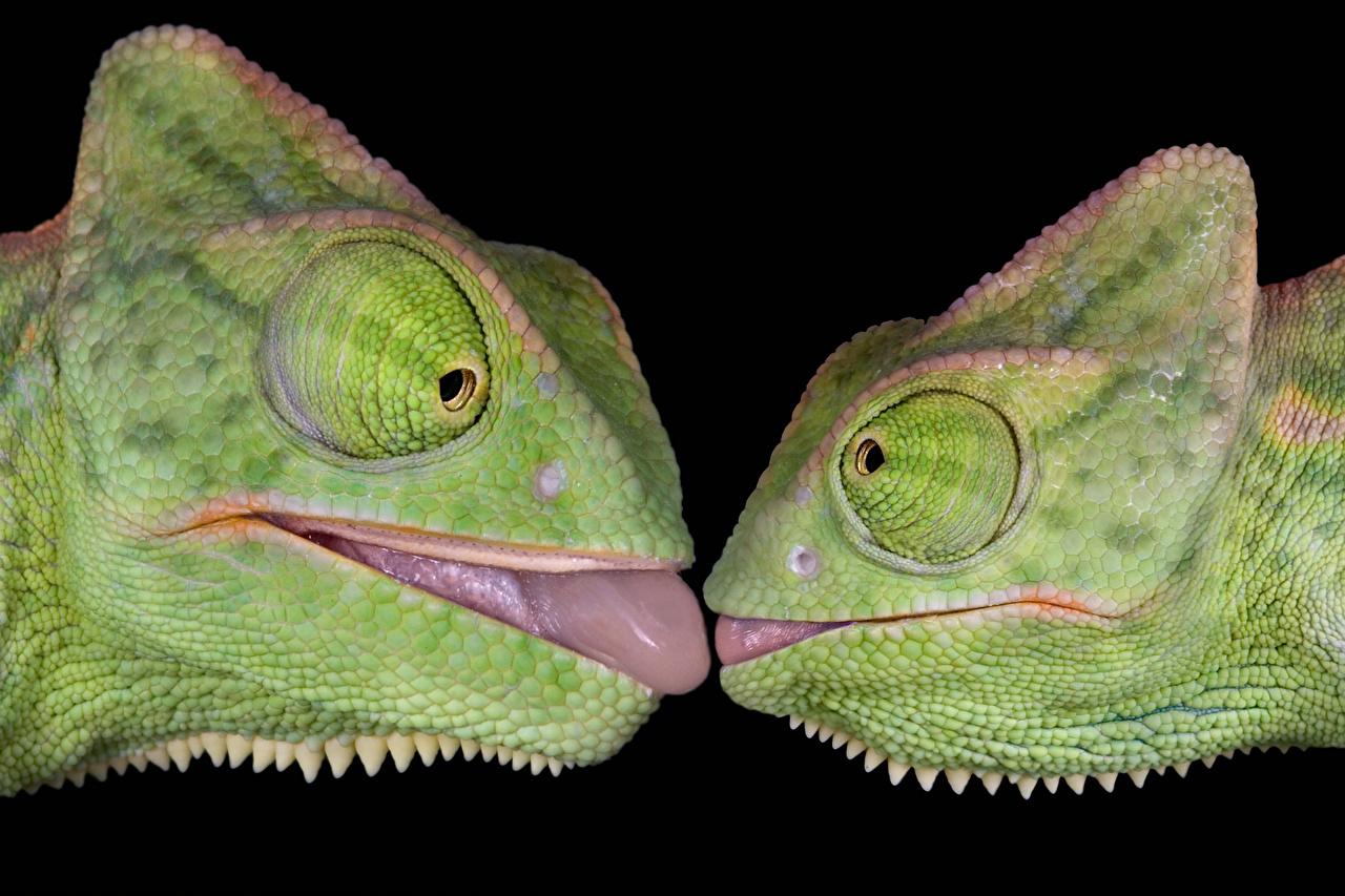 Фото Хамелеон Двое Язык (анатомия) головы животное Черный фон Хамелеоны 2 две два языком вдвоем Голова Животные на черном фоне