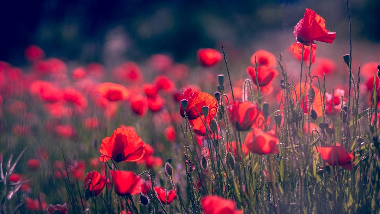 Фотография боке красных мак цветок Бутон Размытый фон красная красные Красный Маки Цветы