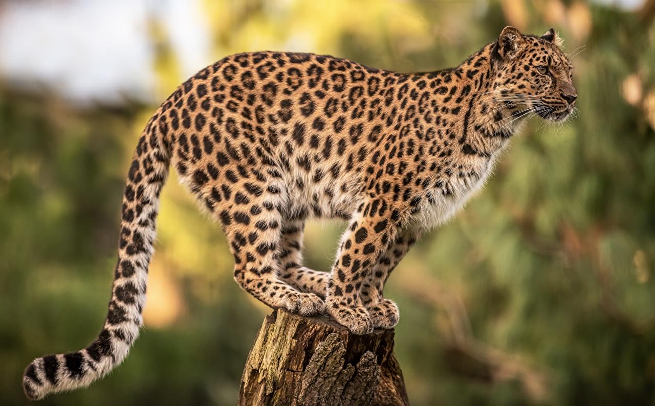 Фотография леопард Размытый фон пне животное Леопарды боке Пень Животные