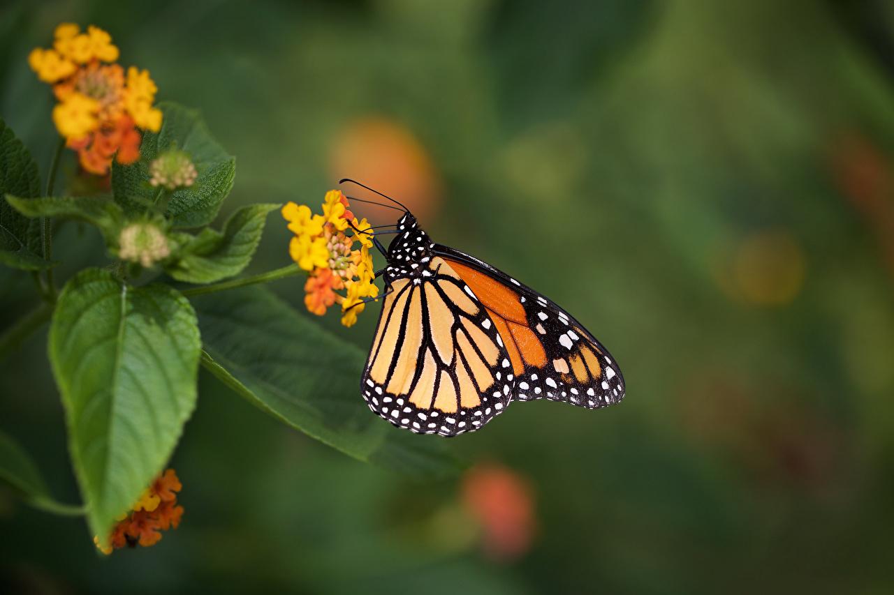Фотография Данаида монарх бабочка насекомое животное Бабочки Насекомые Животные