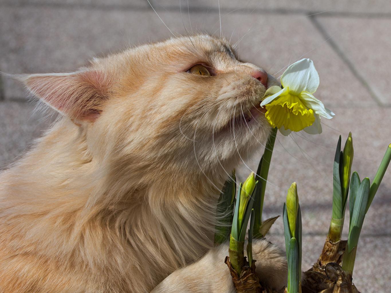 Картинки коты Нарциссы Морда Животные кот Кошки кошка морды животное