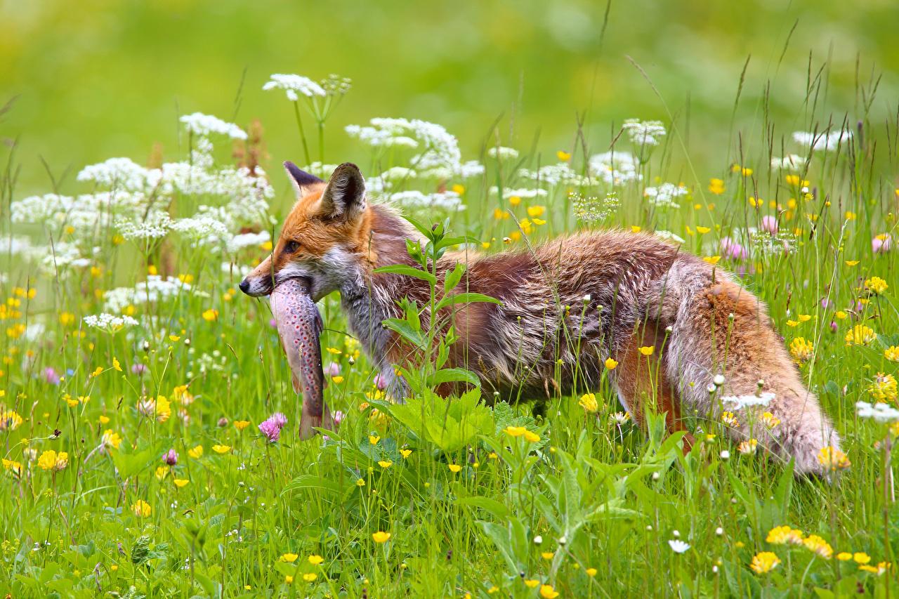 Фото Лисица Рыбы Охота Трава Животные Лисы охоте охотится траве животное