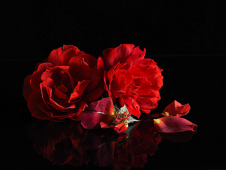 Обои для рабочего стола Розы Двое Красный лепестков Цветы на черном фоне 2 два две роза вдвоем красная красные красных Лепестки цветок Черный фон