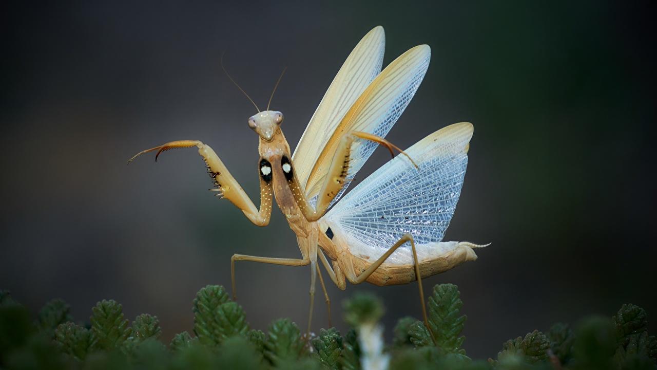 Обои для рабочего стола Богомолы Насекомые Крылья животное Крупным планом богомол насекомое вблизи Животные