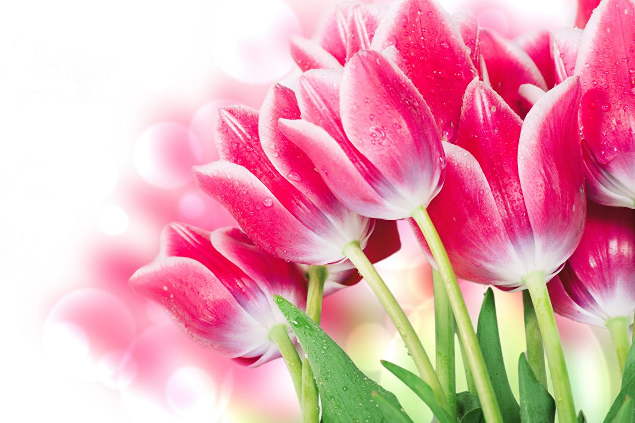 Фотография тюльпан розовая Цветы вблизи Белый фон розовые Розовый розовых Тюльпаны цветок белом фоне белым фоном Крупным планом