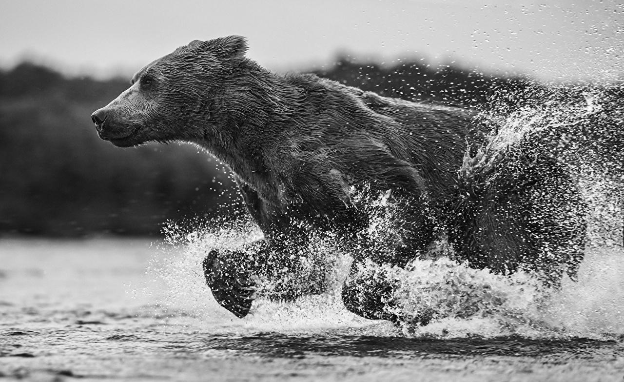 Фотография Бурые Медведи медведь бежит с брызгами Вода Черно белое Животные Гризли Медведи Бег бегущий бегущая Брызги воде черно белые животное