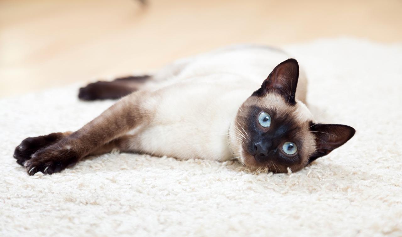 Фото Коты смотрит Животные Кошки Взгляд