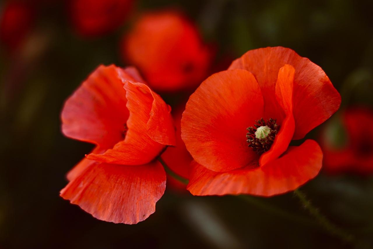 Фотография Красный Маки Цветы вблизи красных красные красная Крупным планом
