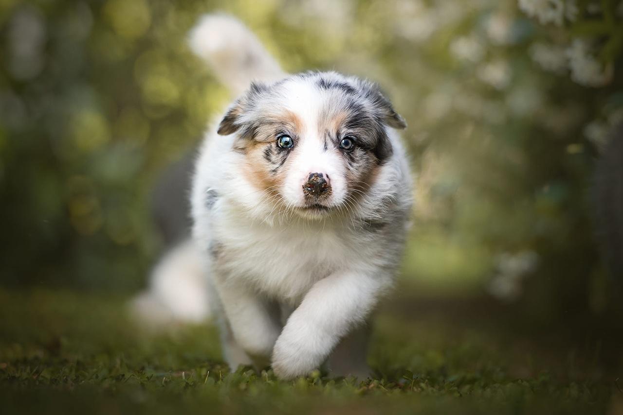 Обои для рабочего стола Щенок Австралийская овчарка собака бегущий Размытый фон животное щенка щенки аусси щенков Собаки Бег бежит бегущая боке Животные