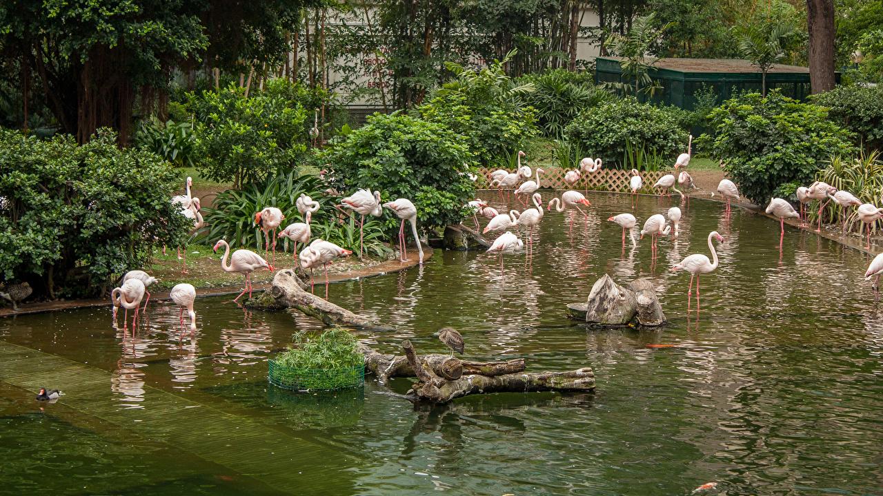 Фото Гонконг Фламинго Kowloon Park Пруд Парки Животные