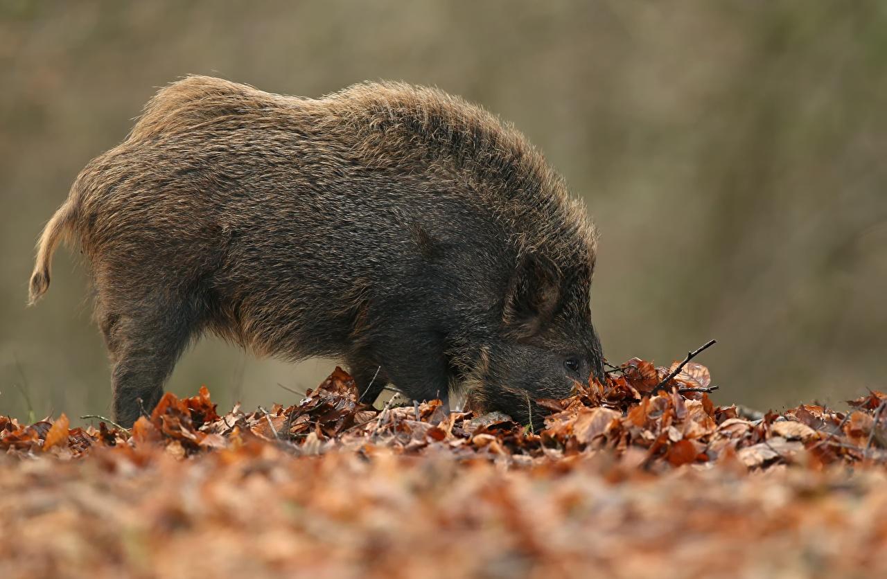 Картинка Кабан Листья животное дикая свинья лист Листва Животные