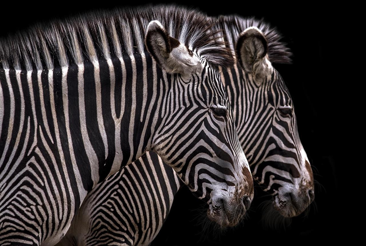 Фотография Зебры две головы Животные Черный фон 2 два Двое вдвоем Голова животное на черном фоне