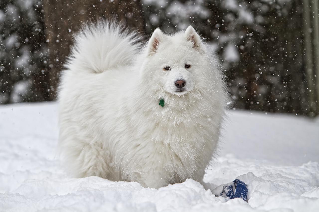 Обои для рабочего стола Самоедская собака собака белая снегу Взгляд животное Собаки Белый белые белых Снег снега снеге смотрит смотрят Животные