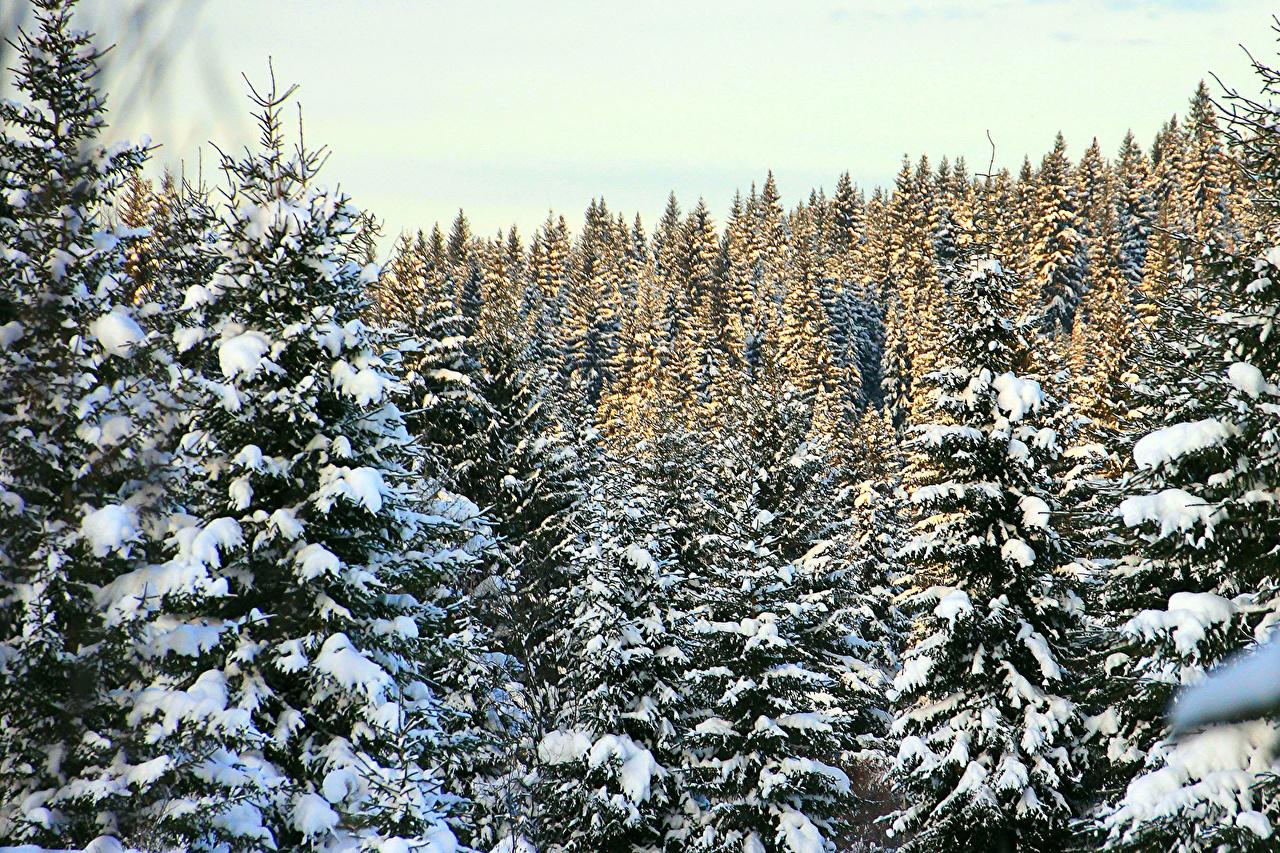 Фото Ель Зима Природа Леса снега Времена года ели зимние лес Снег снегу снеге сезон года