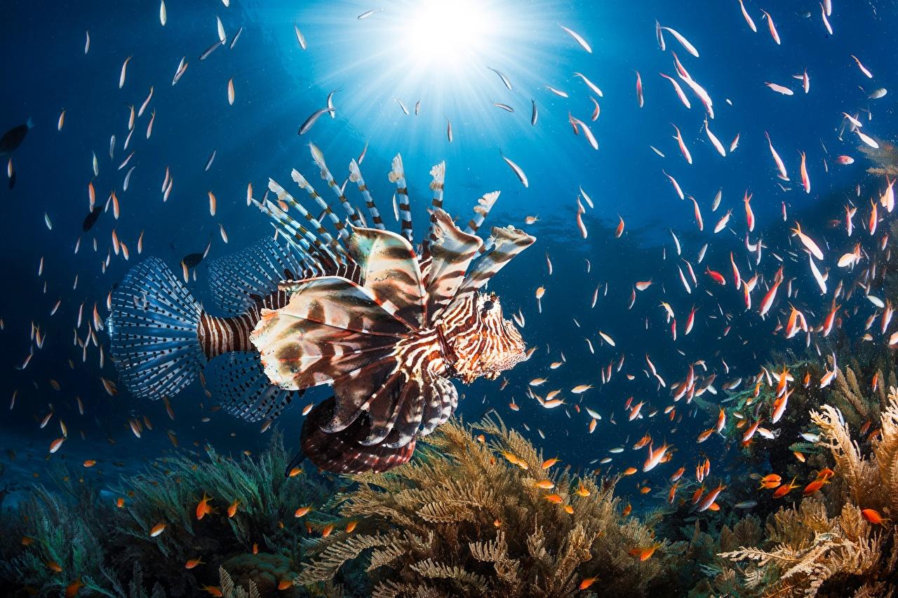 Фотографии Крылатки Рыбы Подводный мир Животные крылатка животное