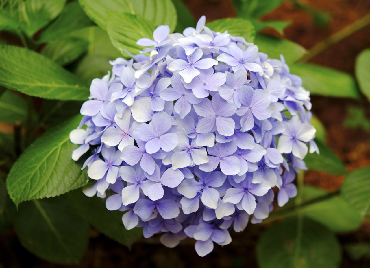 Фотография фиолетовых Цветы Гортензия вблизи фиолетовая фиолетовые Фиолетовый цветок Крупным планом