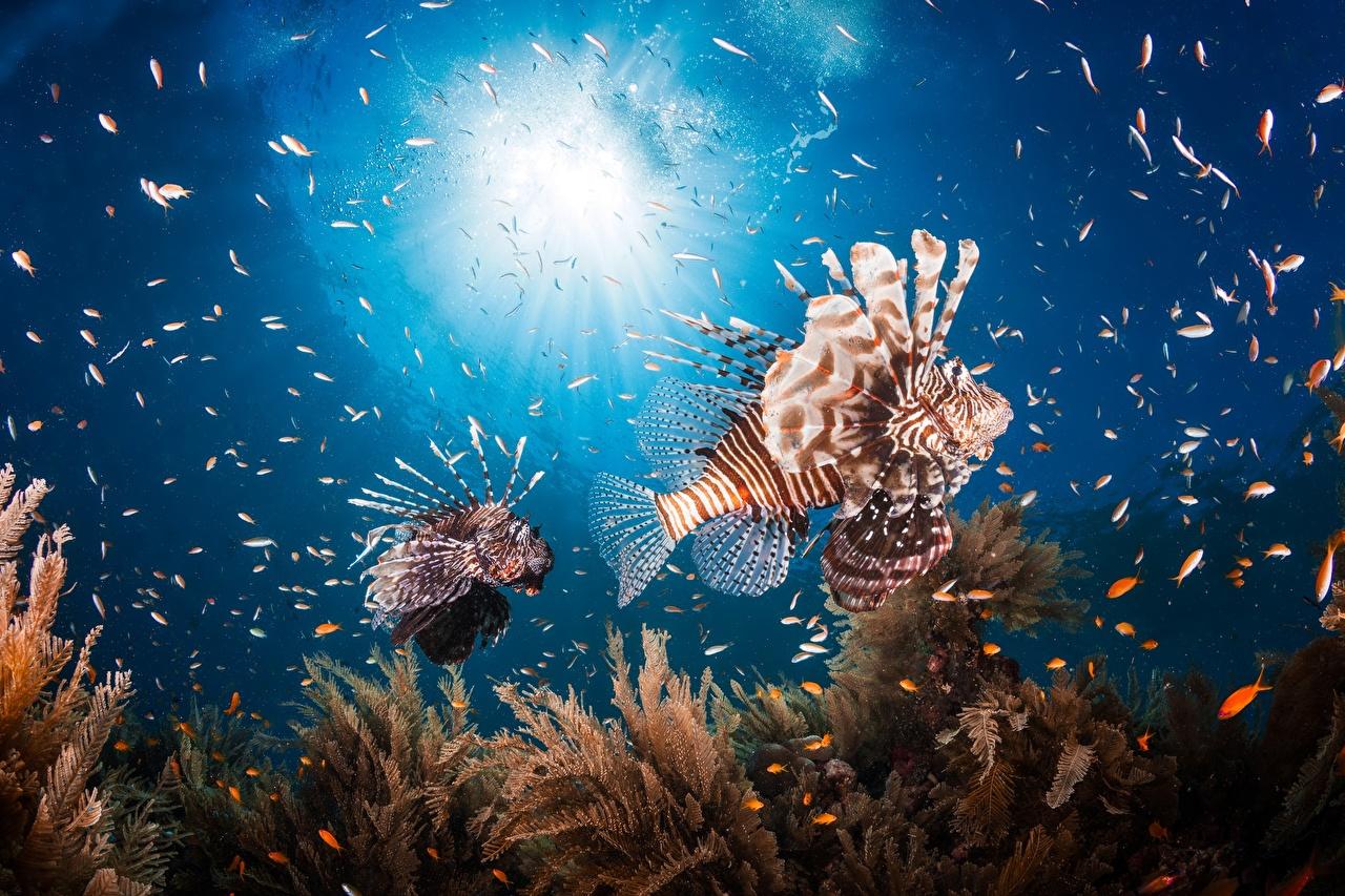 Картинки Крылатки Рыбы Подводный мир Животные крылатка животное