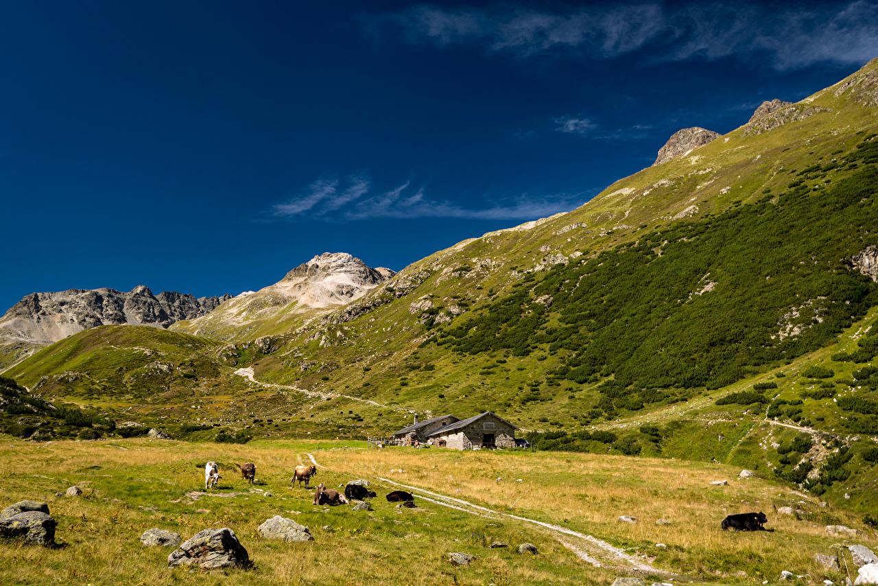 Обои для рабочего стола Корова альп Швейцария Val Bever Долина гора Природа Камень животное коровы Альпы Горы Камни Животные
