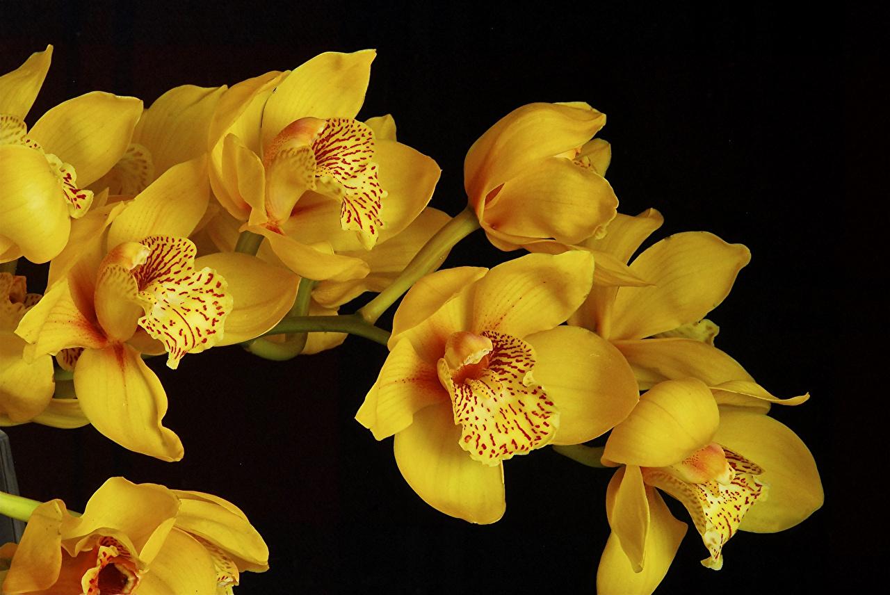 Фотография Cymbidium Желтый Орхидеи цветок Крупным планом желтые желтая желтых орхидея Цветы вблизи