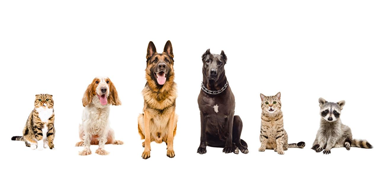 Картинки Еноты Спаниель Коты Собаки Животные Белый фон Кошки
