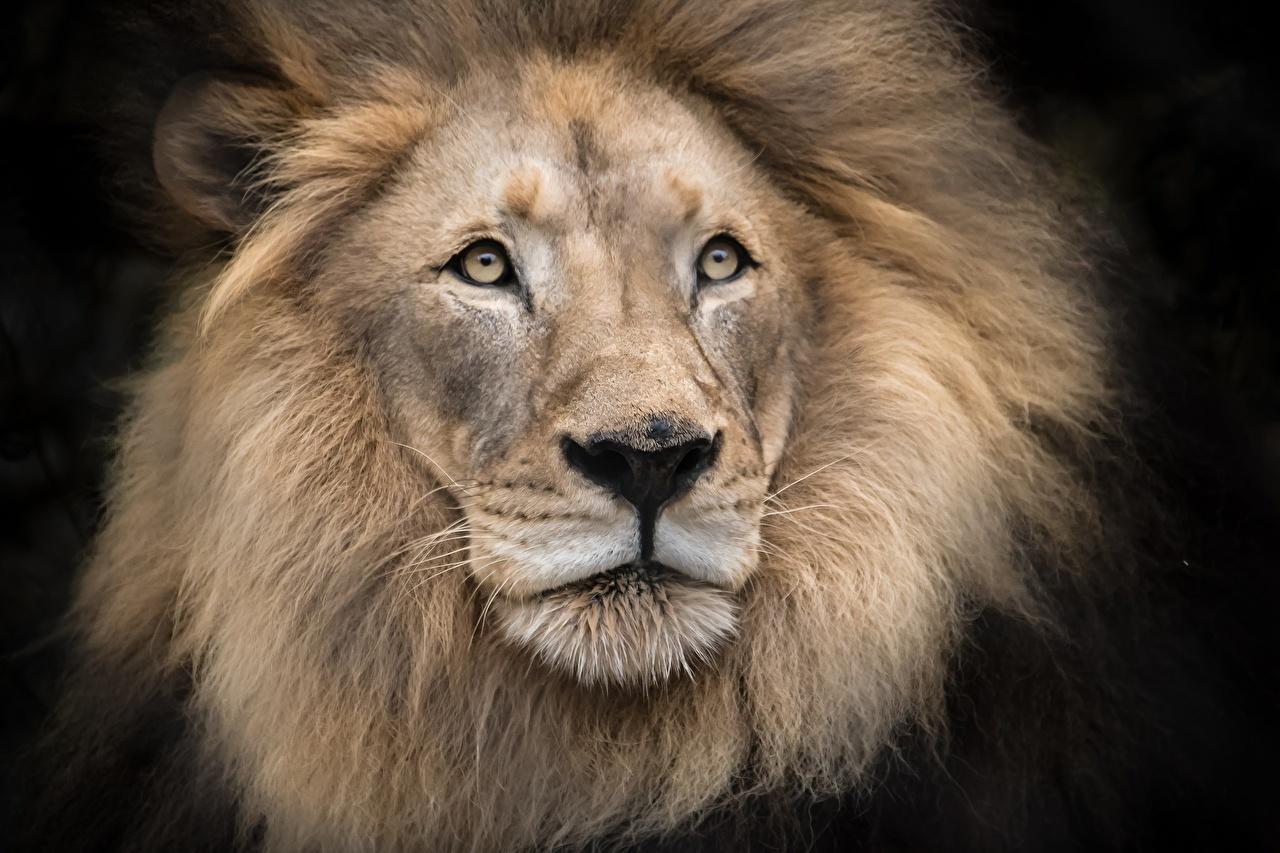 Картинка Львы Морда смотрит Животные Черный фон лев морды Взгляд смотрят животное на черном фоне